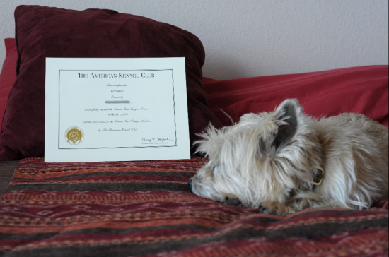 Divinity with her Cainine Good Citizen Certification