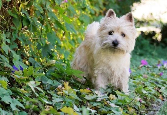 Cairn Terrier digging