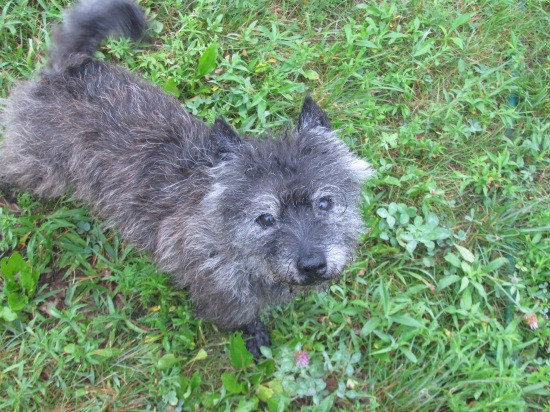 Germany, a senior Cairn Terrier. Update: Germany's been ADOPTED!