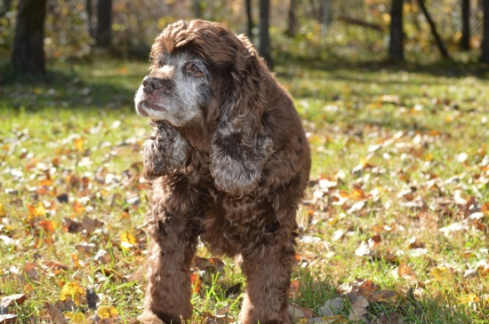 Sandy, a 15 year old Cocker Spaniel available for adoption from Bob's House for Dogs