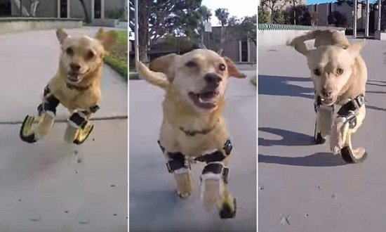 Daisy running with her prosthetic paws