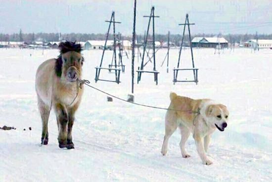 Umka the dog leads Kunduchene the horse