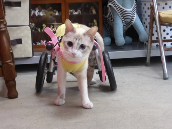 Wheelchairs for Cats