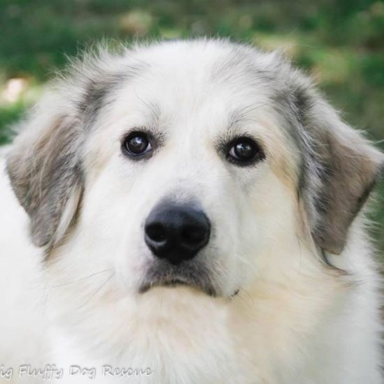 Big Fluffy Dog Rescue