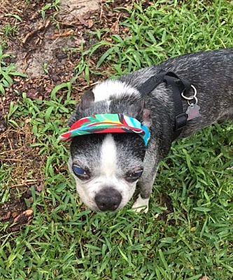 Senior Sunday – Boston Terrier Rescue of East Tennessee